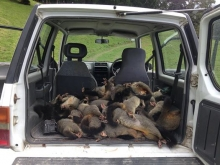 Dead Possums in back of car
