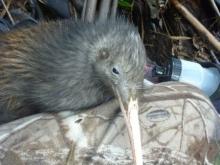 Clover the kiwi
