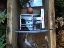 female-stoat-caught-in-DOC-200