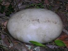 Kiwi Nesting Facts