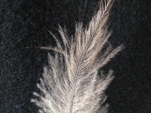 Northland Brown Kiwi Feather