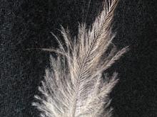 Northland Brown Kiwi Feather