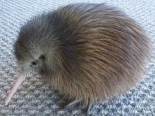 Spot_the_Kiwi_Chick-10-days-old-whangarei-heads