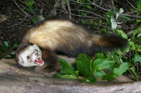 Ferrets can kill kiwi - Photo courtesy of Wordpict