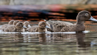 Rare pateke ducks increasing on Kiwi Coast