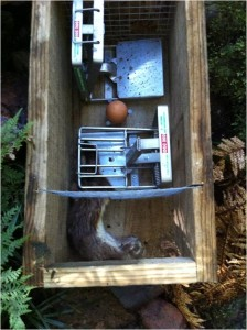 Stoat caught in DOC 200 trap