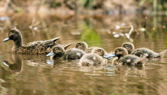pateke ducks and ducklings
