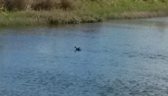 Rare NZ Dabchick Spotted on Kerikeri Pond
