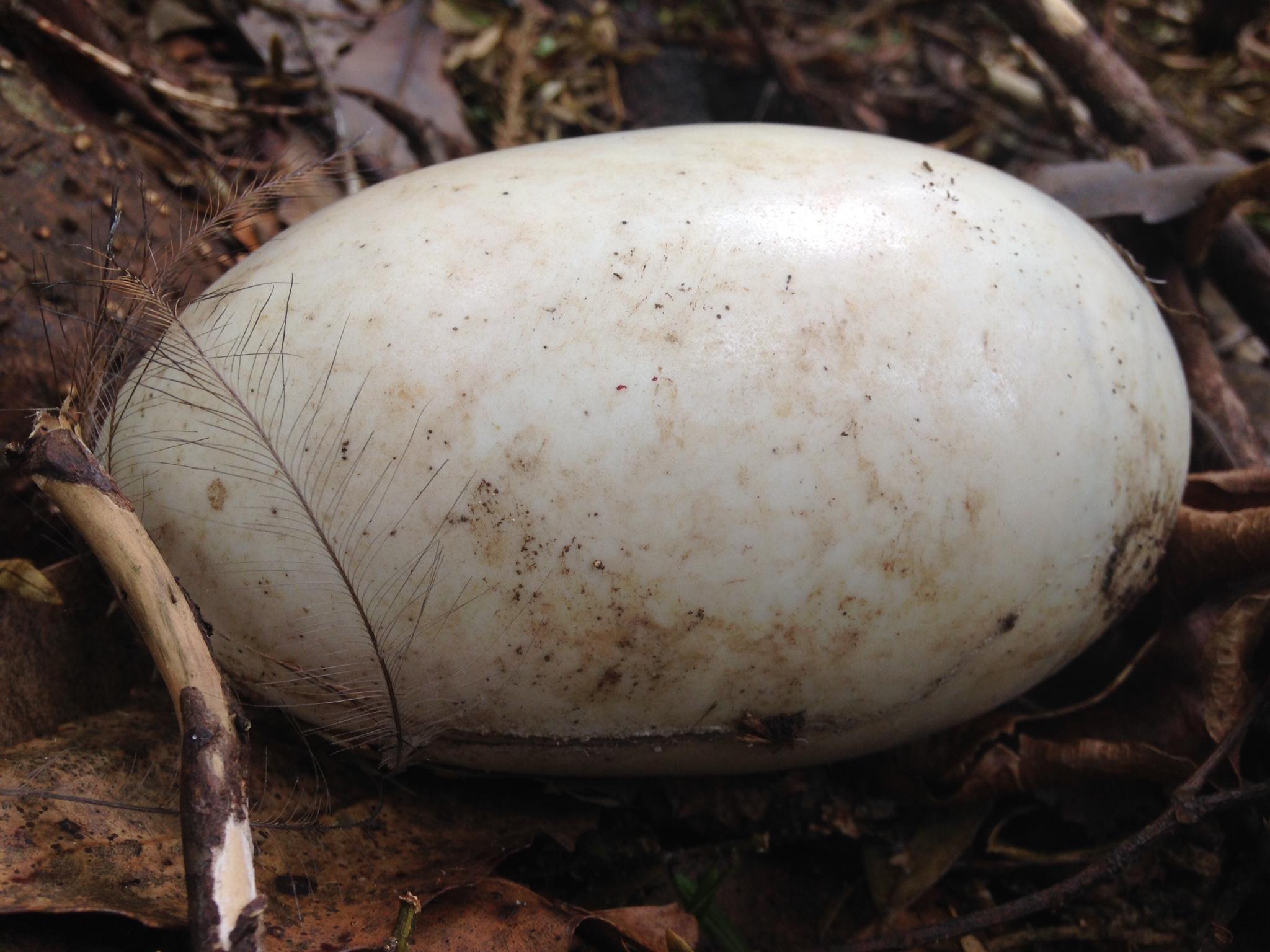 Northland brown kiwi egg
