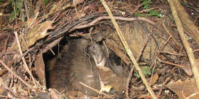 Northland Kiwi Drought Survival Tactics